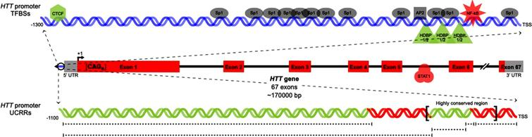 Previously characterized HTT transcription factor binding sites and regulatory regions. Locations of TFBSs in the HTT proximal promoter (upper) and gene body (center) are shown. In parallel, uncharacterized regulatory regions in the HTT proximal promoter are indicated. TFs/UCRRs shown to upregulate (green) or downregulate (red) HTT transcription are pictured in addition to TFs with unknown effects on HTT transcription (grey).