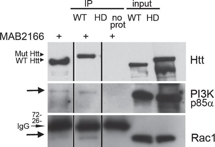Rac and p85α PI 3-kinase both co-immunoprecipitate with endogenous Huntingtin. (a) Western blot analysis of Huntingtin (Htt) immunoprecipitated from wild-type (WT) and Q140/Q140 (HD) adult mouse brain using anti-Huntingtin antibody MAB2166. Eluates were analyzed using two gel formats. Blot from a 3–8% SDS-PAGE gel was probed with polyclonal anti-Huntingtin Ab1 to confirm presence of full-length Huntingtin (∼350 kDa) (top). Blot from 4–12% SDS-PAGE gel was probed for p85 regulatory subunit of PI 3-kinase (middle blot, arrow) and Rac1 (bottom blot, arrow). The mouse IgG light chains (indicated) are recognized by the secondary antibody on the Rac1 probe. Vertical lines indicate where lanes were removed from same gel.