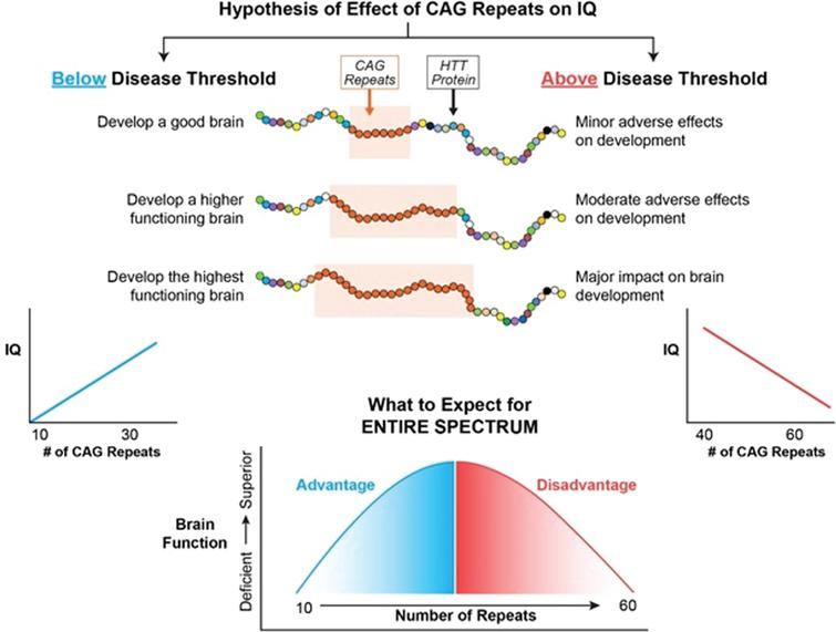 The left side of the figure models how CAG repeats might effect IQ below disease threshold where the right side of the figure models how CAG repeats might effect IQ above disease threshold.