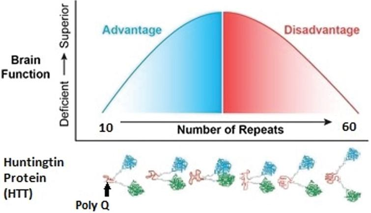 Model of proposed mechanism by which changes in Poly Q (glutamine) leads to changes in protein conformation and subsequent functional changes.