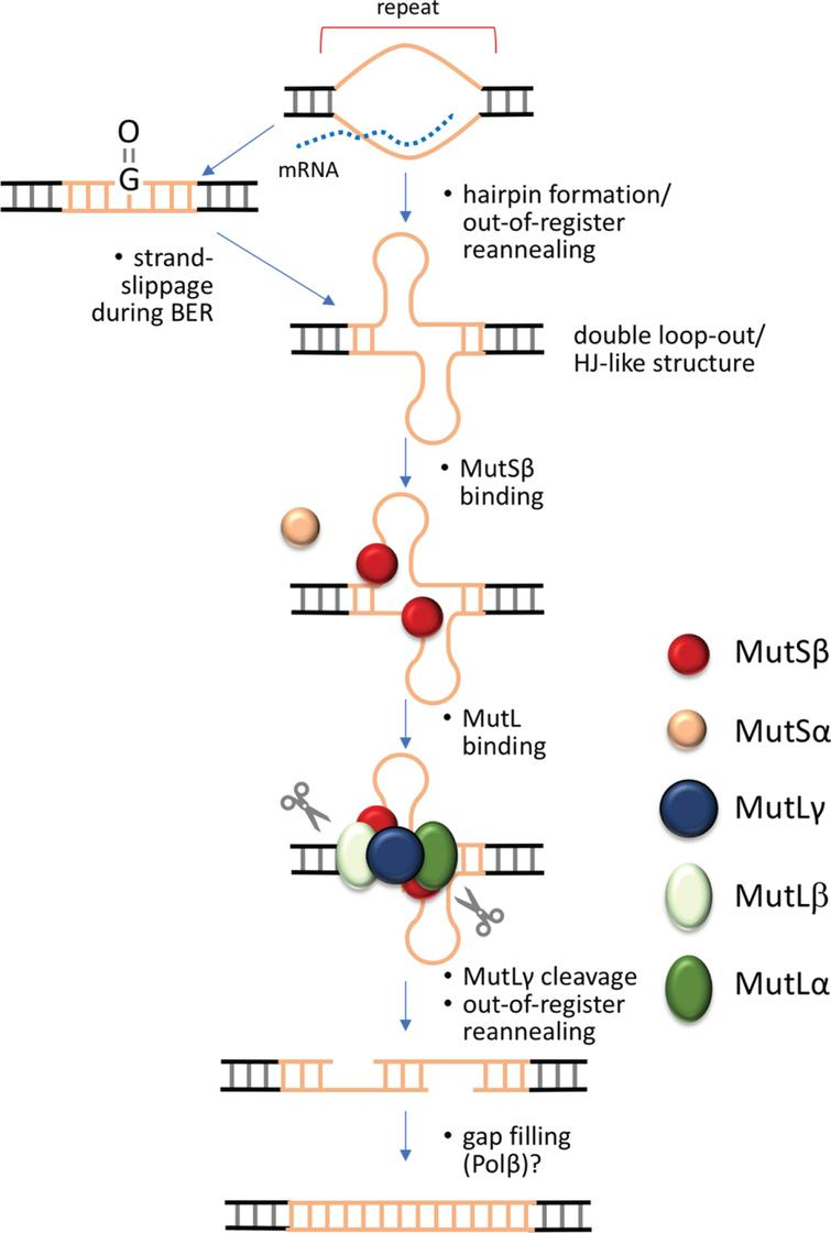 Double-strand break model for the generation of repeat expansions. Expansion in this model is initiated when the repeat is transiently unpaired, as for example during transcription, replication or DNA damage repair. Out-of-register annealing of the two strands during this process could result in a double loop-out structure that resembles a Holliday Junction, the normal MutLγ meiotic substrate. This process may be exacerbated by the ability of the individual strands of some repeats to form stable intrastrand secondary structures like hairpins. Cleavage by MutLγ on either side of the double loop-out results in a double-strand break that can anneal out of register. Simple gap filling and ligation then results in expansions.