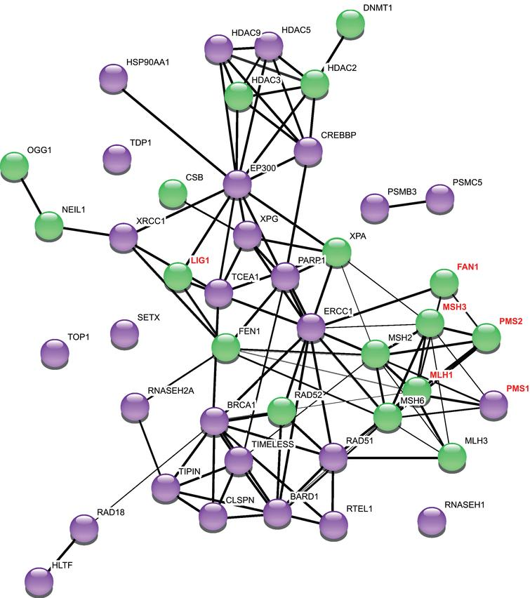 """Network of repeat instability modifiers. This network was generated using StringDB v.11. The thickness of the edges refers to the confidence score (CS). 1 pt edges represent a CS of 0.7, 2 pt edges have a CS of 0.8, and 3 pt edges have a CS of 0.9 or greater. The String output categorizes interactions as """"binding"""" (direct or indirect), """"catalysis"""" and """"reaction"""": for clarity we have not included this in the Figure, but refer the reader to the StringDB v.11 for this information [126]. Purple nodes are genetic modifiers in at least one mammalian system for studying repeat instability. Green nodes are modifiers of repeat instability in murine models of CAG/CTG diseases. Names of genes additionally identified as modifiers of HD age at onset or progression [48–50, 52] are highlighted in red font. PMS1 promotes repeat expansion in a mouse cell model with an expanded CGG/CCG repeat [127]."""