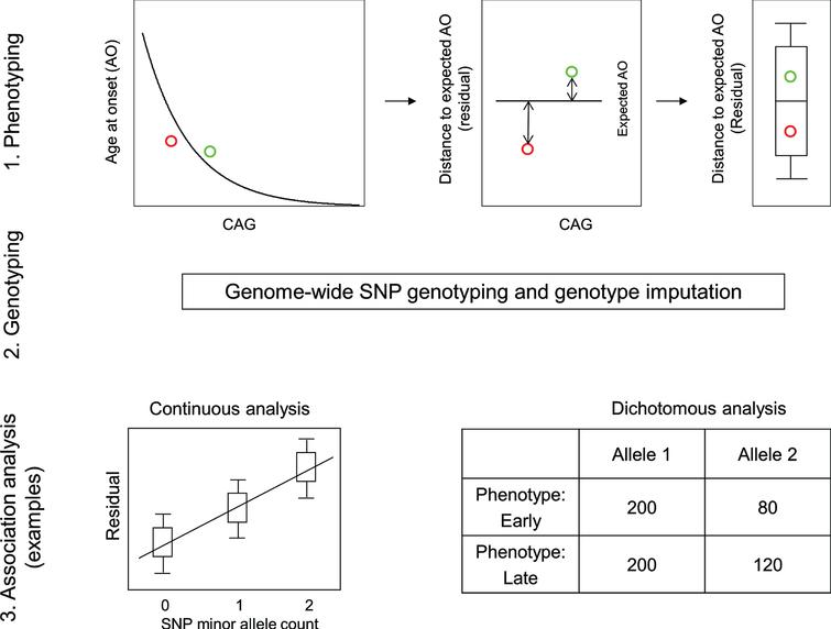 Continuous and dichotomous phenotypes used in GWA analysis. Three steps were taken to identify genetic modifiers in HD: 1) Phenotyping: For each HD subject, age at onset corrected for inherited CAG repeat length (i.e., residual age at onset) was calculated by subtracting the age at onset predicted for that individual (based on their CAG length in comparison with a large population of HD subjects) from the age at onset observed for that individual. 2) Genotyping: Genomic DNA samples were analyzed to determine genetic variations genome-wide, and subsequently used for genotype imputation using a large reference population in order to increase the number of SNPs available for analysis. 3) Association analysis: A statistical model was built to explain residual age at onset (continuous phenotype variable) as a function of a test SNP to judge significance in association between phenotype and genotype (continuous analysis). As a complementary approach, HD subjects with onset extremely earlier or later than their expected age at onset were identified based on residual age at onset, and for each test SNP, the allele frequencies were compared between the early and late groups (dichotomous analysis).