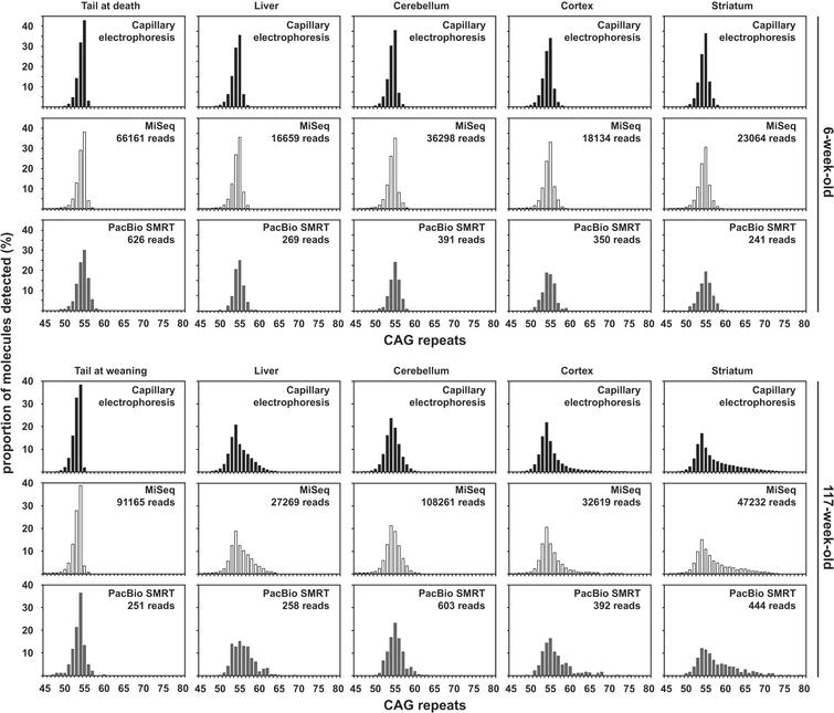 Qualitative assessment of somatic mosaicism comparing CAG frequency distributions obtained by capillary electrophoresis, MiSeq or PacBio SMRT sequencing of bulk-PCR products obtained for different tissues of one 6-week-old and one 117-week-old R6/2 mouse with ∼55 CAGs. Capillary electrophoresis data in black, MiSeq sequencing data in white and PacBio SMRT sequencing data in grey.