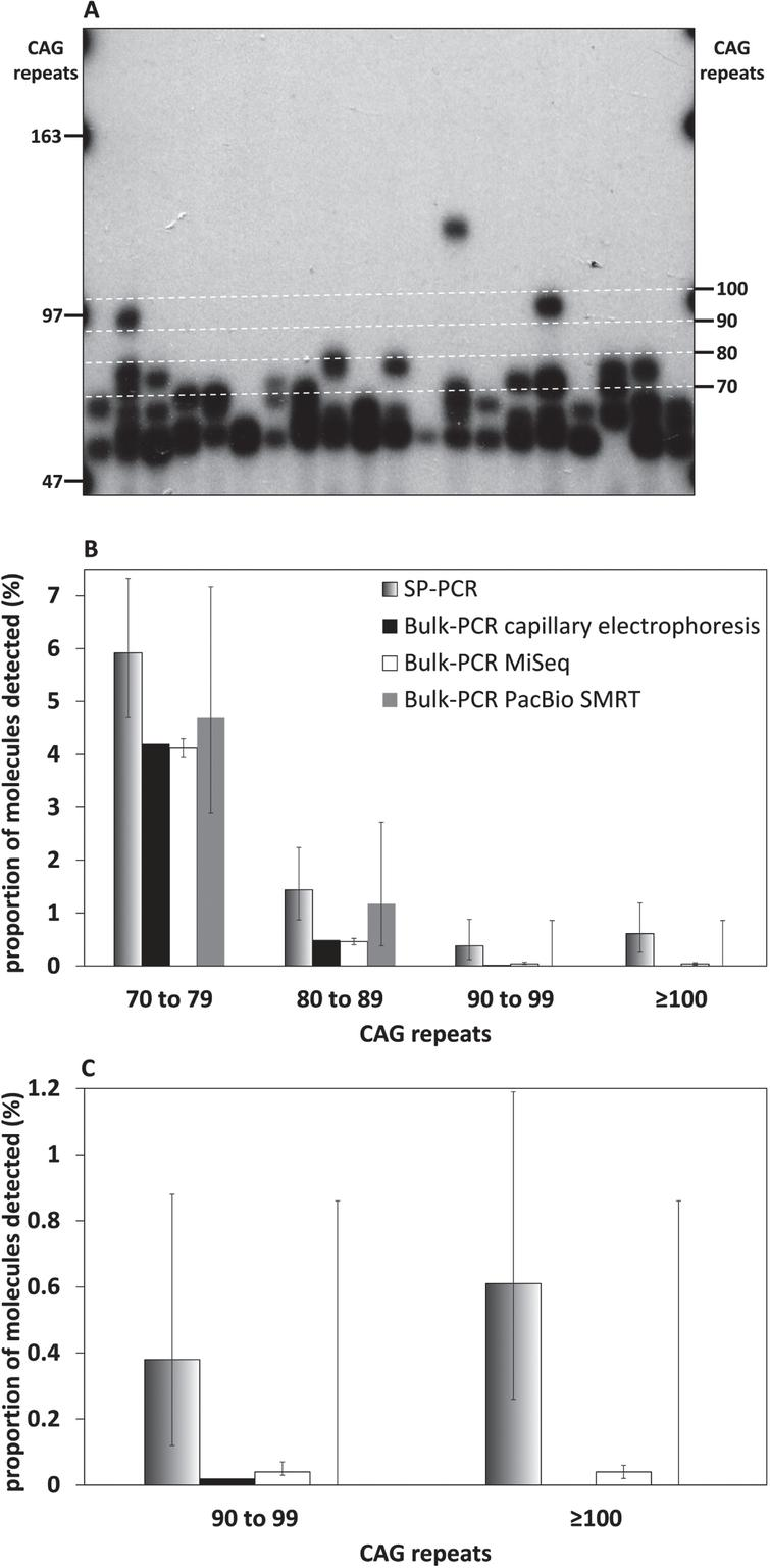SP-PCR can detect very large HTT CAG somatic expansions (≥90 CAGs) that cannot be detected using bulk-PCR approaches. A) Representative small pool PCR autoradiograph from 150 pg template DNA obtained for the striatum of the 117-week-old R6/2 mouse with ∼55 CAGs. The number of CAG repeats, equivalent to each molecular weight marker (left) and the boundaries of the categories represented in panel A (right), is indicated. The boundaries of the categories represented in panel A (right) are also indicated by white dashed lines. B) Percentage of large (≥70 CAGs) HTT CAG somatic expansions detected by SP-PCR (black to white gradient), or bulk-PCR capillary electrophoresis (black), bulk-PCR MiSeq (white), bulk-PCR PacBio SMRT (grey) in the striatum of the 117-week-old R6/2 mouse with progenitor allele ∼55 CAGs. C: HTT CAG somatic expansions >90 CAGs from panel B. Error bars indicate the 95% confidence intervals (they could not be estimated for the bulk-PCR capillary electrophoresis because the fluorescence units measured cannot be transformed into a count of PCR products detected).