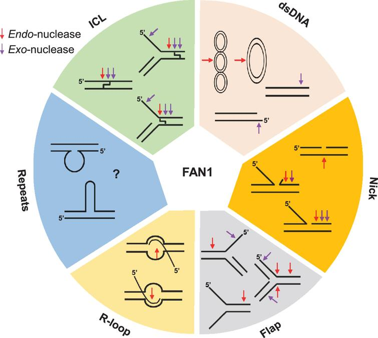 FAN1 can process various unusual DNA structures, including interstrand cross-linked DNA (ICL), dsDNA (supercoiled, covalently closed circular, linear DNA), nicked DNA, flap-DNA, R-loop DNA, and repeat containing DNA (unknown). Purple and red arrows denote exo-nuclease and endo-nucleolytic cleavage, respectively.