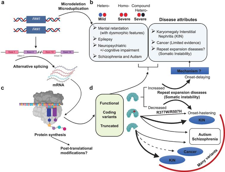 Overview of FAN1 genetics and its associated diseases. (a) Heterozygous microdeletion in the FAN1 gene is associated with a mild form of 15q13.3 microdeletion syndrome. Whereas homozygous microdeletion or compound heterozygous microdeletion is associated with increased severity. Microduplications can be associated with various symptoms. (b) Defects in FAN1 identified in various diseases (c). These defects may be due to alternative splicing. It may generate aberrant transcript, which further on translation produces either functional protein, coding variants, or truncated FAN1 protein. (d) Various forms of FAN1 proteins are identified in multiple diseases such as truncated protein and coding variants are identified in various cancers, KIN, schizophrenia, autism, and some disease hastening coding variants identified in HD and SCAs. The relative strength of these associations varies widely and are discussed in the text. Arrows that are bold, medium and dotted denotes strong, moderate and limited evidence for the disease association, respectively. The mechanism associated FAN1 role with all of these diseases is unknown.