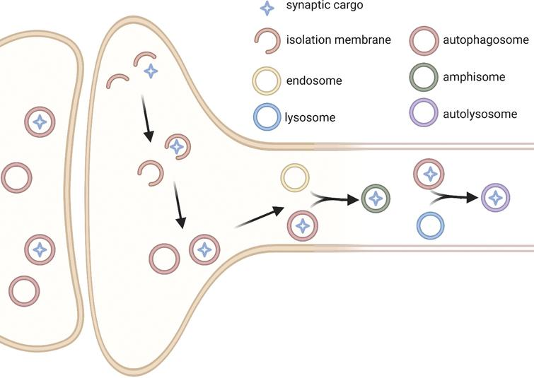 Simplified schematic of autophagy at the synapse. It has been suggested that pre-synaptically, autophagosome formation is initiated at the synapse by the generation of an isolation membranes that then close to become autophagosomes. These structures then mature as they travel retrogradely up the axon prior to fusing with lysosomes in the cell body [93–100]. The molecular players governing this pathway are still being investigated but may include the proteins Rab-interacting lysosomal protein (RILP) [138] and Endophilin A [94]. Autophagy has been implicated in the processing of various synaptic proteins (see Table 2) and may be involved in the degradation of entire synaptic vesicles [86, 93]. It is unclear how those proteins and organelles are targeted to the autophagosome, but likely requires adaptor proteins such as p62 [106] and Rab26 [93]. The movement of autophagosomes in dendrites has been less thoroughly studied, although autophagy does seem to be playing a role in this compartment as well, as multiple post-synaptic proteins are also implicated as targets of autophagy (see Table 2). (Figure created with BioRender.com).