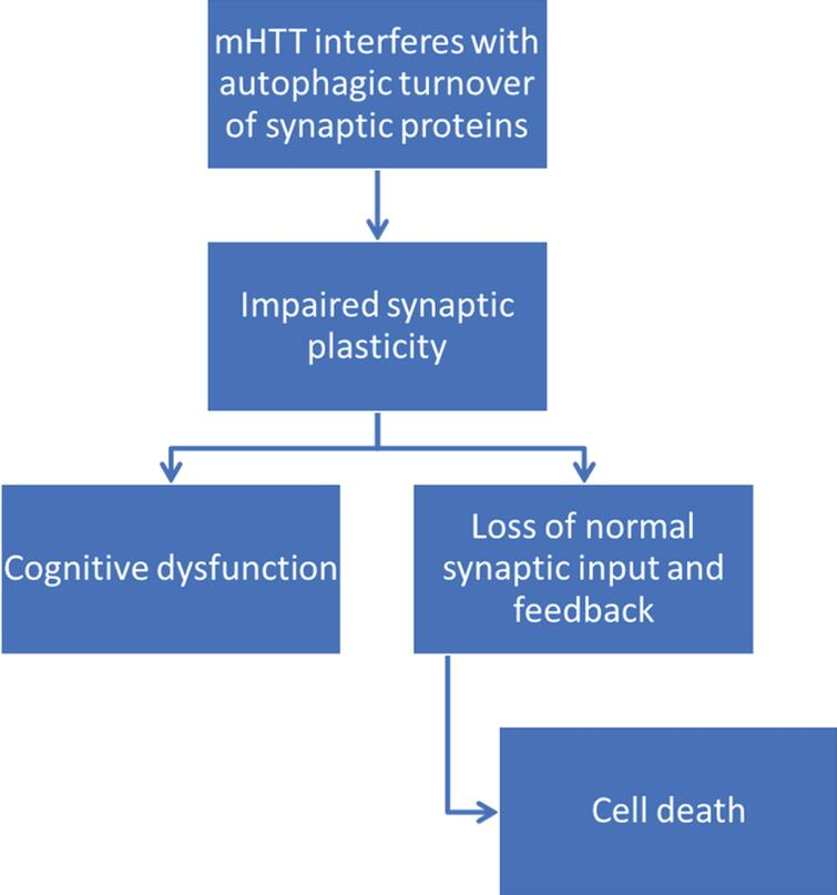 Proposed pathway of mHtt contribution to cognitive dysfunction and cell death through impairments in synaptic autophagy. mHtt interferes with autophagic efficiency [128–131], leading to a decline in synaptic autophagy. This may in turn interfere with synaptic plasticity, causing both cognitive dysfunction and loss of normal synaptic input to post-synaptic cells and feedback to presynaptic cells. Loss of normal synaptic feedback and input may then contribute to cell death.