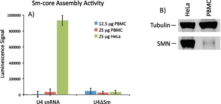 SMN-dependent snRNP assembly activity in PBMCs. A) 12.5 or 25 mg of extract from PBMCs or 25 mg extract from HeLa cells were incubated with biotinylated U4 snRNA or a variant of U4 lacking the Sm site (U4ΔSm) and assayed for Sm core assembly. Assembled Sm cores were isolated by immunoprecipitation with anti-Sm antibodies and detected via luminescence with HRP-coupled streptavidin. The error bars represent the standard deviation from the mean of three independent experiments. B) Representative Western blot for SMN protein in PBMC and HeLa extracts used in snRNP assembly experiments.