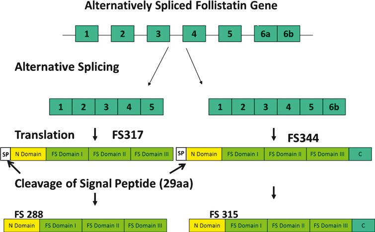 Alternative splicing of the follistatin gene produces two isoforms, FS317 and FS344. Alternative splicing occurs at the 3' end of the gene between exon 5 and exon 6. Splicing out of intron 5 generates a stop codon immediately following the last amino acid of exon 5, and leads to the termination of the coding sequence for FS317. An alternative splice site results in the inclusion of exon 6 and generates FS344. After translation and prior to activation, follistatin undergoes further posttranslational modification by cleavage of the 29 amino acid signal peptide. This results in polypeptides FS315 (long-isoform from FS344) and FS288 (short-isoform from FS317).