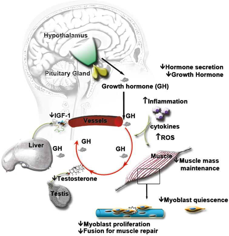 Age alters serum composition and thereby affects intercellular communication at distance. The endocrine hypothalamic-pituitary axis is altered with aging, affecting the composition of circulating hormones in the serum. For instance, the secretion of growth hormone is decreased, leading to loss of muscle mass. In addition, the lower level of growth hormone will also stimulate less the secretion of IGF-1 - IGF-1 being involved in muscle mass maintenance and in the satellite cell myogenic program. The endocrine hypothalamic-gonadotropic axis is also affected, leading to a decrease of sex steroids such as Testosterone, another hormone involved in muscle mass maintenance. Similarly, a decrease in oestrogen can act on the myogenic program through IGF-1 signaling. The decrease in circulating hormones affects the capacity of the satellite cells to respond to muscle damage. Aging is also associated with an increase in inflammation. The cytokines secretion by aged inflammatory cells as well as their ROS production is modified and can also affect the capacity of the satellite cells to respond to muscle damage. The modification of the entire serum composition with aging has negative effects on muscle mass and on muscle regeneration capacity.
