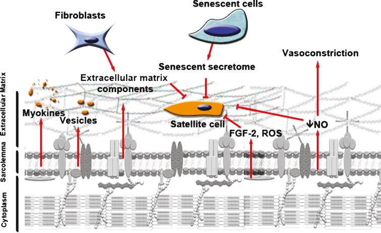 Aging changes the microenvironment of the satellite cell. Decreased muscle mass can be accompanied by a decrease in myokines and vesicles secreted into the microenvironment of the satellite cells. Aged myofibers produce more ROS and FGF-2, factors that can change epigenetic marking of the satellite cells and shut down their myogenic program and their capacity to re-quiesce. They also release less NO into their environment, stimulating vasoconstriction which may inhibit serum tissue perfusion. Aged fibroblasts present in the muscle can secrete more fibrous proteins, thickening the ECM. In turn, this decreases the diffusion of growth factors toward the satellite cells and thus their responsiveness to muscle repair cues. Increase in senescent cells with age can secrete factors that inhibit tissue regeneration. The microenvironment of the satellite cells is thus altered and affects their capacity to respond to any muscle damage.