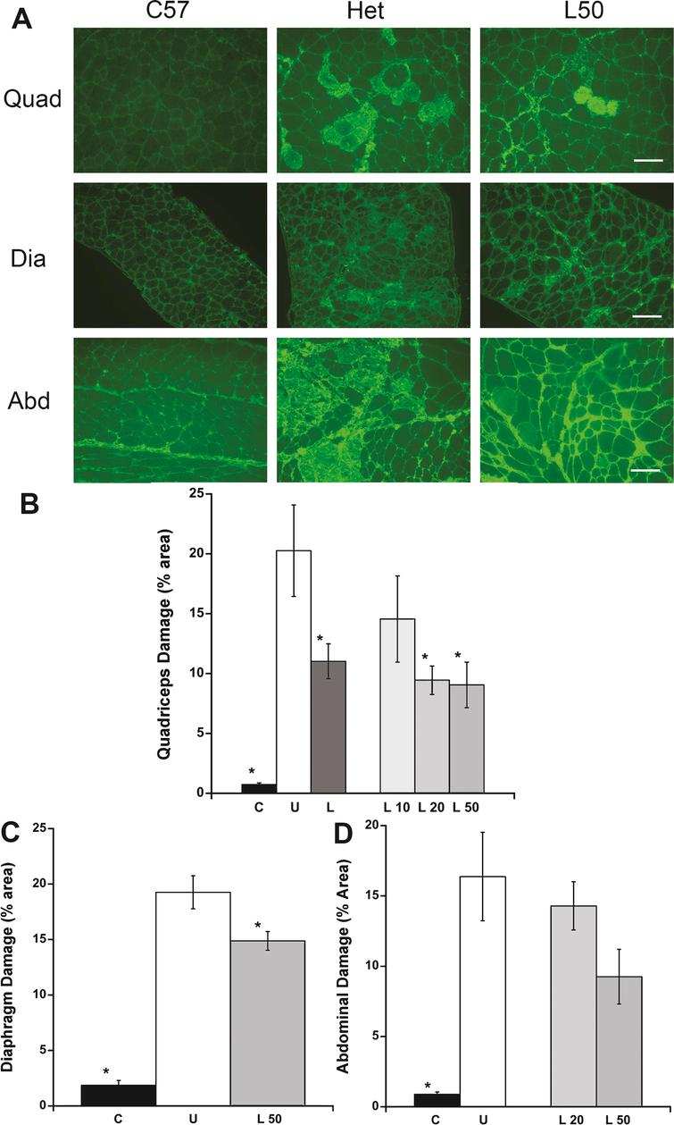 Quantification of muscle damage in quadriceps, diaphragm and abdominal sections of treated and untreated het mice. A) Immunofluorescence staining for serum IgG on representative quadriceps, diaphragm and abdominal sections. Mice treated with 50mg/kg × day of lisinopril had substantially less ongoing muscle damage than untreated het mice. C57BL/10 wild-type control had no observable muscle damage. C57: C57BL/10 wild-type control mice (n=10); Het: untreated het mice (n=10); L50: het mice treated with 50mg/kg × day of lisinopril (n=6). Bar=100μm. B) Damage in the quadriceps muscle, quantified by the percentage of IgG staining out of the entire muscle section area, was significantly lower in lisinopril treated mice overall (L), in the individual L20 and L50 groups, and C57BL/10 controls, compared to untreated het mice. C) Damage in diaphragm muscle quantified by IgG staining was reduced by the highest lisinopril dosage (L50) and in C57BL/10 controls, compared to untreated het mice. D) An overall reduction in abdominal damage was detected using ANOVA but a Dunnett post hoc test, comparing lisinopril treated to untreated mice, found no significant reduction. Only C57BL/10 compared to untreated hets were significantly reduced. However, the lower percentage of IgG staining in the highest dosage of lisinopril-treated compared to untreated hets, suggests a trend towards a reduction in ongoing damage in abdominal muscles. C: C57BL/10 wild-type control mice (n=10); U: untreated het mice (n=10); L: all 3 groups of lisinopril-treated het mice (n=18); and L10, L20, L50=groups of het mice treated with lisinopril at 3 different (10, 20, and 50mg/kg × day) dosages (n=6 per group). Data are shown as means  ±  SEM for B, C, and D. *indicates a significantly lower value compared to the untreated het group, as assessed by ANOVA followed by a Dunnett post-hoc test, P< 0.05.