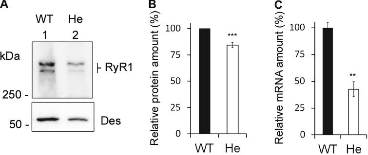 Expression of RyR1 in heterozygous RyR1+/– mouse muscles. (A) Quantitative Western blot analysis of RyR1 expression in skeletal muscle homogenates from WT mice (WT) or from heterozygous RyR1+/– mice (He). (B) The relative amount of RyR1 at the protein level compared to myosin was set to 100% in WT mice. The amount of RyR1 in He mice is presented as mean ± SEM of 9 experiments performed in 3 different mice. ***p< 0.001 Student's t-test between WT and He. (C) Q-RT-PCR analysis of levels of RyR1 mRNA expressed as a percentage of WT mice (which relative expression compared to GAPDH was set to 100%). The data are presented as mean ± SEM of 3 different mice. **p< 0.01 Student's t-test between WT and He.