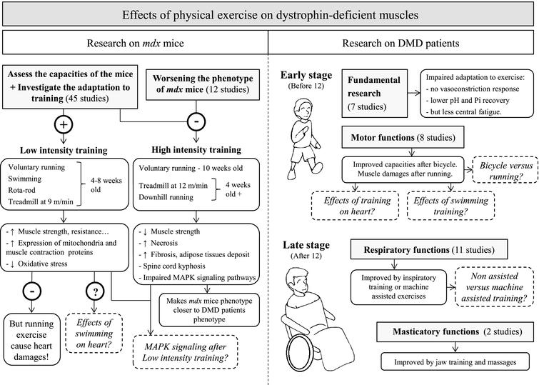 Schematic summarizing the effects of physical exercise on dystrophin-deficient muscles. Results from studies investigating the effects of physical exercise on muscles in mdx mice (left panel) and DMD patients (right panel). Dotted lines represent open questions.