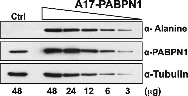 Sensitivity of the α-alanine antibody. Immunoblots of serial dilutions of lysates from HEK 293 cells transfected with plasmid encoding A17-PABPN1 probed with α-Alanine antibody. The total amount of lysate ( μg protein) loaded in each lane is indicated below the immunoblot panels. Blots were probed with α-PABPN1 to detect endogenous and recombinant PABPN1 protein and α-Tubulin was used to detect tubulin as a loading control.