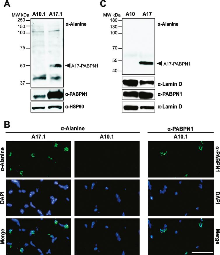 Use of the α-alanine antibody in a transgenic mouse model of OPMD. A) Immunoblots of whole muscle lysate from mice expressing transgenic wild type (A10.1) or alanine-expanded PABPN1 (A17.1) were probed with α-Alanine antibody. Samples were also probed with α-PABPN1 and α-HSP90 as controls. B) Immunostaining of tibialis anterior muscle sections from A10.1 and A17.1 animals stained with α-Alanine antibody. Immunostaining with α-PABPN1 was used to confirm the presence of PABPN1 protein in A10.1 animals and DAPI was used to stain nuclei. Merge image (bottom panels) is included to show co-localization of both A17 and wild type PABPN1 with nuclei. Bar = 5 μm. C) Immunoblots of whole fly lysates from flies expressing muscle-specific A10- or A17-PABPN1 probed with α-Alanine antibody. Samples were also probed with α-PABPN1 to detect PABPN1 and with α-Lamin D to detect lamin D as a loading control.
