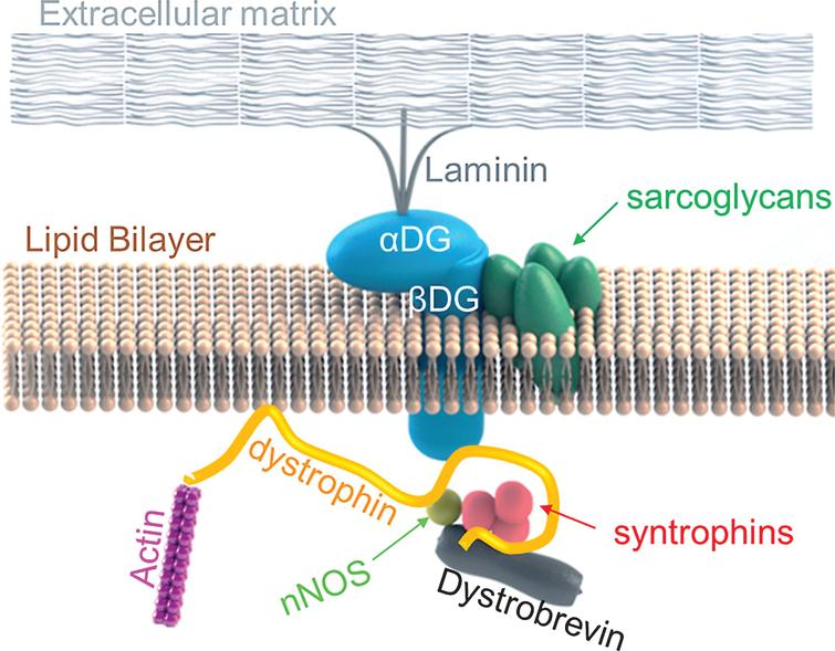 Dystrophin links actin cytoskeleton to the dystrophin glycoprotein complex. In normal muscles, the N-terminal domain of dystrophin binds to actin. Dystrophin then, subsequently interacts with the components of DGC: It interact with neuronal nitric oxide synthase (nNOS) at the region between exon 42 to exon 45, then, its cysteine rich domain binds to β-dystroglycan, and lastly, its C-terminal domain binds to syntrophin and dystrobrevin.