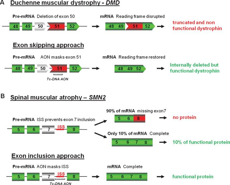 Antisense oligonucleotides mediated splice correction for various neuromuscular diseases. A - Exon skipping rationale for DMD. Patients with DMD carry mutations disrupting the open-reading frame of the dystrophin pre-mRNA. In this example, exon 50 is deleted, creating an out-of-frame mRNA and leading to the synthesis of a truncated non-functional or unstable dystrophin. The tc-DNA AON directed against exon 51 can induce effective skipping of exon 51 and restore the open reading frame, therefore generating an internally deleted but partly functional dystrophin. B – Exon inclusion rationale for SMA. Exon 7 of SMN2 gene is spliced out in 90% of the mature mRNA leading to only 10% of functional SMN protein. Tc-DNA AON can mask the ISS inducing inclusion of exon 7 and leading to a functional SMN protein.