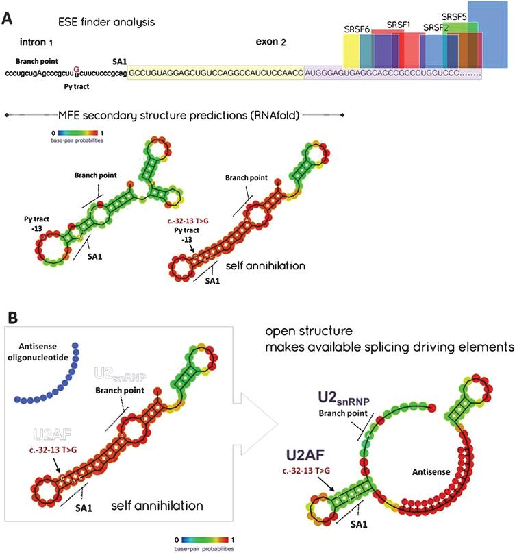 A - ESE finder and MFE (minimal free energy) secondary structure predictions: Notice that the beginning of exon-2 is markedly deprived of ESE (exon splice enhancer) sites binding SRSF (Serine/arginine splicing factors) but shows ESS (exon splice silencer) sites for hnRNP A1 (boxed – yellow contributes to the 5′ UTR; light purple designates coding sequence). The T>G transition might alter the correct removal of intron-1 by modifying the secondary structure of the pre-mRNA at the level of its 3′ acceptor splice site (e.g. generating a locked hairpin), thus making it ineffective. B - Splice switching rationale to rescue the [c.-32-13 T>G] common mutation: MFE analysis of the region spanning the end of intron-1 and the beginning of exon-2 in the presence of a 15-mer tcDNA-AON annealing exon-2 at position [+7 to +22]. The frequency of the new MFE structure is 25% instead of 65%. (SA1: Acceptor splice site 1, U2AF: U2 auxilliary factor, U2snRNP: U2 small nuclear ribonucleoprotein).