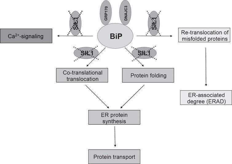 Schematic overview of impaired BiP function due to loss of functional SIL1. The cellular processes highlighted in the respective boxes are potentially affected by loss of (functional) SIL1.
