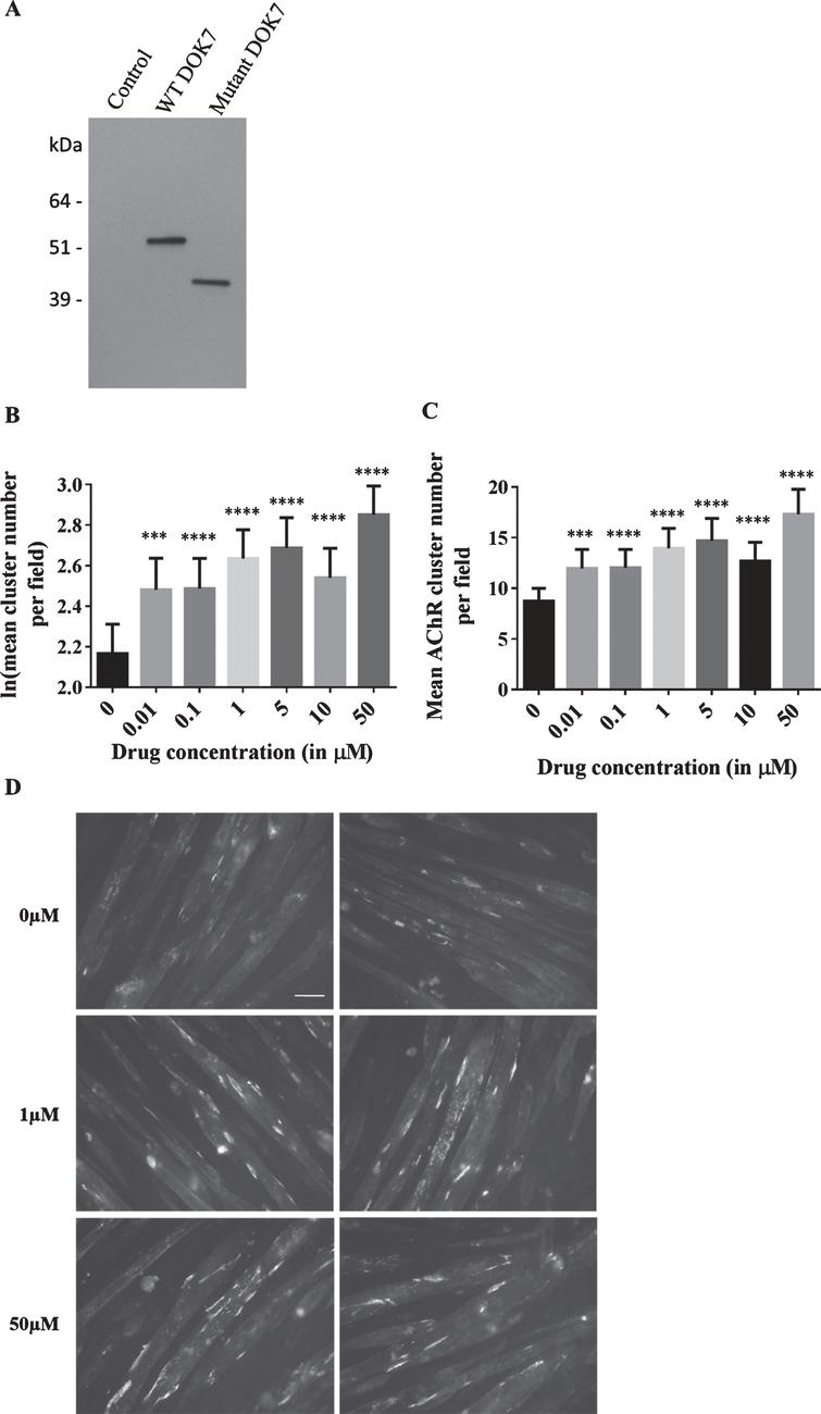 Effects of salbutamol sulphate on AChR clustering in C2C12DOK7c. 1124 _ 27dupTGCC cells. (A) C2C12DOK7c. 1124 _ 27dupTGCC and C2C12DOKWT myotubes robustly express DOK7 compared with control myotubes infected with pBABE-PURO-EGFP. Myotube lysates were analysed by western blot using anti-DOK7 antibody H-284 (Santa Cruz) 1:500..  (B-D) C2C12DOK7c. 1124 _ 27dupTGCC myotubes were incubated with 0.01, 0.1, 1, 5, 10 or 50 μM salbutamol sulphate for 22 h. (B) Salbutamol sulphate treatment induced a significant increase in the number of clusters at all concentrations tested (difference = 0.31, SE = 0.08, p = 0.001, difference = 0.32, SE = 0.07, p = 0.00002, difference = 0.47, SE = 0.05, p < 0.00005, difference = 0.52, SE = 0.07, p < 0.00005, difference = 0.37, SE = 0.06, p < 0.00005, and difference = 0.68, SE = 0.05, p < 0.00005, respectively). (C) Data back-transformed into cluster numbers. (D) Representative microscopic images of C2C12DOK7c. 1124 _ 27dupTGCC myotubes treated with salbutamol sulphate as indicated. N = 12. Error bars indicate the standard error of the mean. n.s.p > 0.05 ***p≤0.001, ****p≤0.0001.