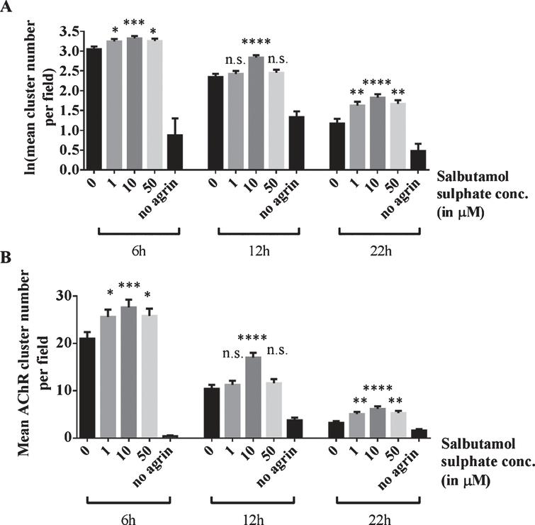 Effects of salbutamol on AChR clusters after agrin wash-off. (A) Clusters were induced by incubation of myotubes with 1:500 soluble short rat agrin. After agrin was removed, AChR clusters were left to disperse for 6, 12 or 22 h in the absence or presence of 1, 10 or 50 μM salbutamol sulphate. Significantly more clusters remained in salbutamol treated cells after a dispersal time of 6 h (difference = 0.2, SE = 0.07, p = 0.027, difference = 0.27, SE = 0.07, p = 0.0006, and difference = 0.2, SE = 0.07, p = 0.02, respectively; no agrin control: difference = 3.92, SE = 0.43, p < 0.00005), 12 h (difference = 0.08, SE = 0.11, p > 0.99, difference = 0.49, SE = 0.1, p < 0.00005, and difference = 0.11, SE = 0.11, p = 0.98, respectively; no agrin control: difference = 1.01, SE = 0.16, p < 0.00005) and 22 h (difference = 0.08, SE = 0.11, p > 0.99, difference = 0.49, SE = 0.1, p < 0.00005, and difference = 0.11, SE = 0.11, p = 0.98, respectively; no agrin control: difference = 1.01, SE = 0.16, p < 0.00005). (B) Data shown in A back-transformed into cluster numbers. N = 3 (6 and 22 h), N = 2 (12 h). Error bars indicate the standard error of the mean. n.s.p > 0.05, *p≤0.05, **p≤0.01, ***p≤0.001, ****p≤0.0001.