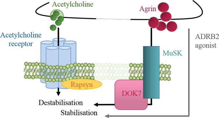 Regulation of postsynaptic stability by positive and negative signals. Agrin is a positive signal for AChR cluster stabilisation, while ACh induces dispersal. ADRB2 agonists might compensate for the partial loss of DOK7 signalling and exert a stabilising effect on the endplate structure.