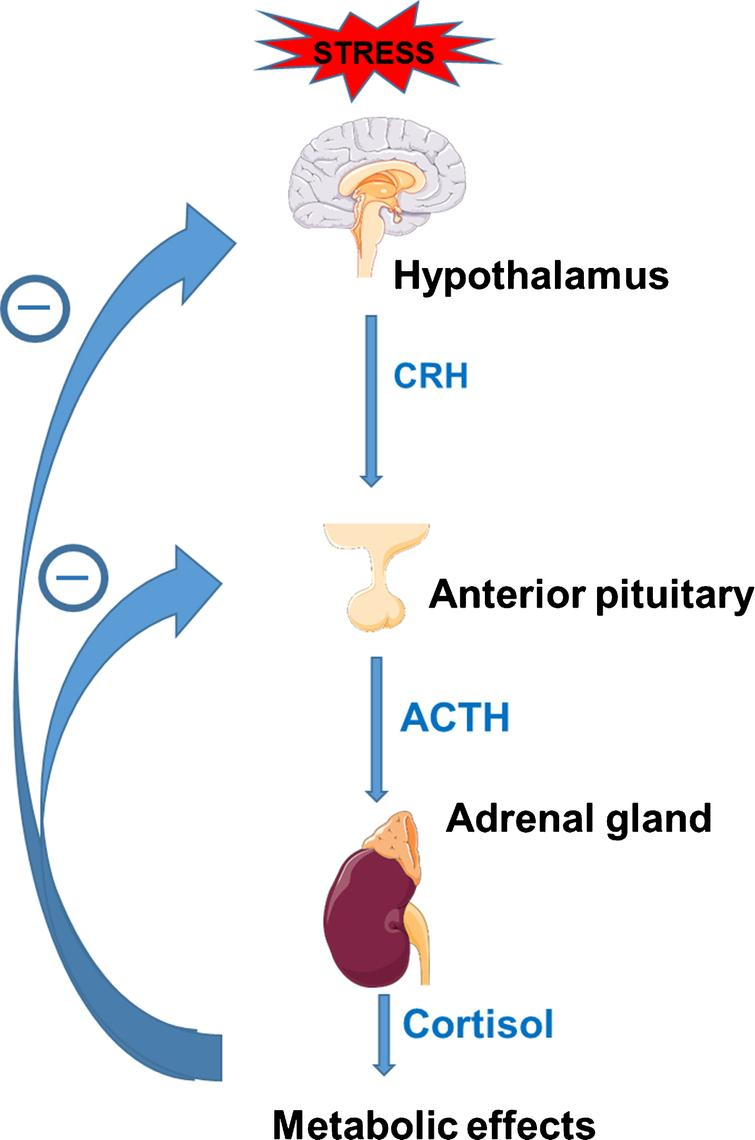 Regulation through cortisol-mediated negative feedback of the hypothalamic-pituitary-adrenal (HPA) axis; CRH=corticotropin-releasing hormone, ACTH=adrenocorticotropin hormone. Figure designed with images from Servier Medical Art (https://smart.servier.com) under a Creative Commons Attribution 3.0 Unported License.