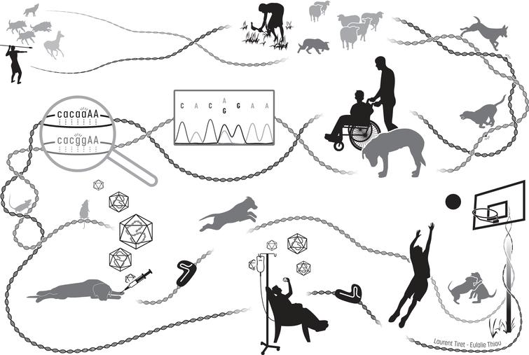 Illustrated history of the intermingled Humankind and dog recent evolution, from domestication to comparative medicine. From the upper left corner, then along the DNA path: in prehistoric paleolithic times, Homo sapiens ancestors and grey wolves which are dogs' ancestors may have developed similar social abilities for cooperative problem solving, synergizing in convergent actions such as hunting. Between around 35,000 years ago and the beginning of the Pre-Neolithic starting roughly 11,500 years ago, humans and domesticated dogs achieved more and more cooperative tasks such as protecting herds of other domesticated farm animals. Sharing their daily life and environment resulted in common genomic signatures. By exerting new forms of selection pressure on the dog's genome, human evolution resulted in many convergent physiological mechanisms. Over the last 300 years, phenotypic diversity increased in dogs following a sustained accentuated artificial selection of desirable traits spontaneously emerging in domesticated dogs, leading to the creation of breeds that are genetic isolates. This unfortunately led to the rapid spread of unwanted breed-specific disease-causing variants that also spontaneously happened, and in particular favored homozygosity of loss-of-function recessive alleles resulting in the emergence of hereditary disorders, including those affecting the neuromuscular system. Dysfunction of convergent physiological mechanisms lead to highly similar pathogenic mechanisms in patients and affected dogs, which are thus relevant spontaneous clinical and molecular models. In the last two decades, comparative medical genetics has allowed to identify 290 human-like disease-causing variants in 190 genes, as illustrated here with the autosomal recessive mutations identified in the same intronic acceptor site of BIN1 in human patients (ag=> aa) and affected Great Danes (ag=> gg) that display a highly similar, rapidly progressive congenital myopathy [60]. Comprehensive,