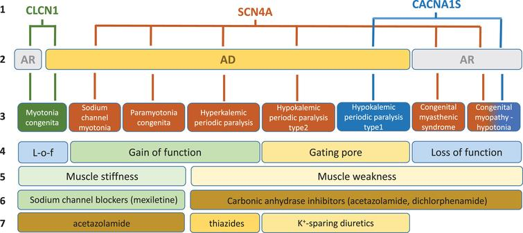 Schematic description of current knowledge regarding skeletal muscle ion channelopathies considered in this systematic review. First line: mutated gene. Second line: mode of inheritance (AR, autosomal recessive; AD: autosomal dominant). Third line: disease names. Fourth line: main effect of mutations on channel function. Fifth line: main symptom. Sixth line: currently preferred symptomatic drugs. Seventh line: second choice drugs.