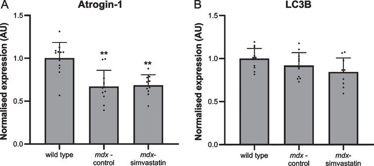 Autophagy. Expression of (A) atrogin–1 and (B) LC3B in the diaphragm of 24–week old mice after 12 weeks of simvastatin treatment (n=10–12). **p<0.01 compared to wild type mice.