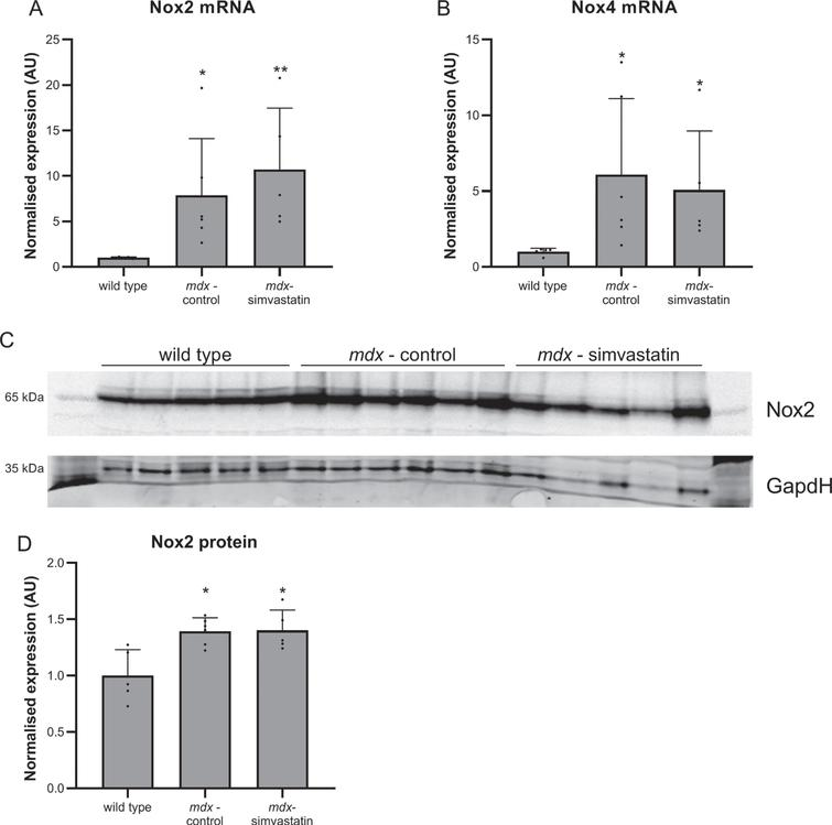 Oxidative stress. 16–week old mice after 12 weeks of simvastatin treatment. (A–B) Gene expression of Nox2 (A) and Nox4 (B) in the diaphragm. (C–D) Expression of Nox2 protein in the tibialis anterior. Each lane represents an individual mouse (n=5–6). *p<0.05, **p<0.01 compared to wild type mice.