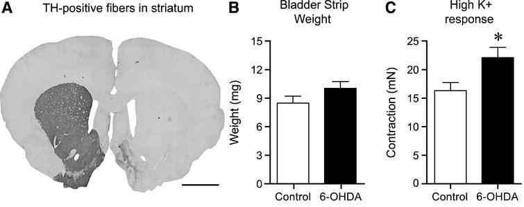 The effect of 6-OHDA lesion on striatal tyrosine hydroxylase (TH)-positive fibers, bladder weight and contractile response to high K + Krebs. Following unilateral 6-OHDA lesion TH-positive fibers in the striatum were >95% abolished as compared to the untreated side (A). The bladder strip weight in the 6-OHDA-lesioned animals showed a trend to be larger (10.0±0.8 mg, n = 17) as compared to normal (8.4±0.8 mg, n = 34), however this 20% increase was not significant (p = 0.20, unpaired t-test; B). Testing the viability of the strips by using high K + Krebs solution revealed a significantly (36% ) higher response in the 6-OHDA-lesioned animals as compared to the untreated controls; 22.1±1.8 mN (n = 34) vs. 16.2±1.5 mN (n = 17) respectively (unpaired t-test p = 0.022; C). Scale bar in Panel A represents 2 mm.  * = significantly different from control.