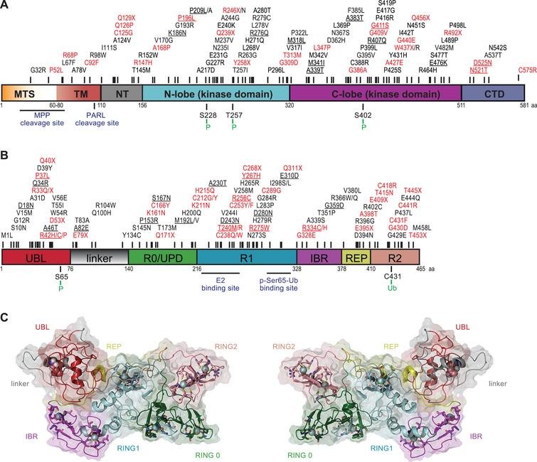 PINK1 and Parkin domain structures and PD-related mutations. (A-B) Given are schematic, color-coded domain representations of PINK1 and Parkin. PD-associated missense and nonsense mutations from the PD Mutation Database (http://www.molgen.vib-ua.be/PDMutDB/) are displayed on top of each structure with their respective locations. Mutations in red have been experimentally verified as loss-of-function mutations and are considered pathogenic, while functional defects for variants shown in black remain unclear. Underlined mutations are common variants based on the ExAC database (http://exac.broadinstitute.org) with allele frequencies greater than 1:10 000. (A) Domain structure of PINK1 (581 amino acids): mitochondrial targeting sequence (MTS, orange), transmembrane region (TM, red), N-terminal regulatory region (NT, gray), N-lobe of the kinase domain (cyan), C-lobe of the kinase domain (purple) and the C-terminal domain (CTD, blue). PD-associated mutations are listed on the top. Mitochondrial protease (MPP and PARL) cleavage sites and PINK1 auto-phosphorylation sites are displayed at the bottom. (B) Domain structure of Parkin (465 amino acids): ubiquitin-like domain (UBL, red), linker (gray), really-interesting-new-gene (RING)/unique Parkin domain (R0/UPD, green), RING1 (R1, cyan), in-between-RING (IBR, purple), repressor element of Parkin (REP, yellow), and RING2 (R2, pink). E2 co-enzyme and p-Ser65-Ub binding sites as well as Ser65 phosphorylation and Cys431 catalytic sites are displayed at the bottom. (C) Closed, inactive conformation of full-length human Parkin (left: front view and right: back view). The structure is shown in colored ribbons that correspond to the respective domain colors. The solvent-accessible surface area of each domain is shown in semi-transparent rendering in the same color. Ser65 is highlighted in Van der Waal representation with standard atom coloring (hydrogen: white, oxygen: red, nitrogen: blue). The zinc-finger motifs of Parkin are rendered in licorice stick with standard atom coloring and the corresponding zinc ions as spheres (cyan).