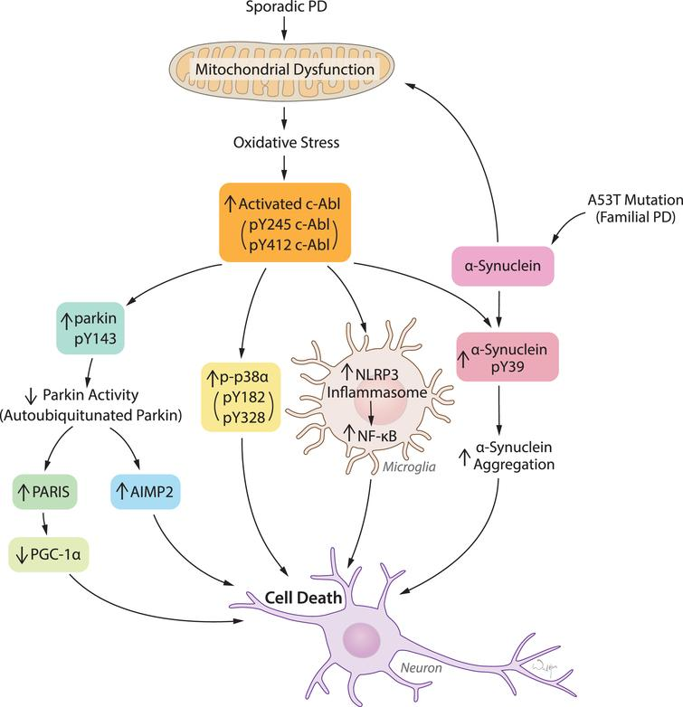 c-Abl activation links diverse pathogenic pathways leading to neuronal death in response to oxidative stress in PD and related α-synucleinopathies. Mitochondrial dysfunction and resulting oxidative stress is the key feature in both sporadic PD and familial PD related α-synucleinopathies. c-Abl activation acts as a sensor of oxidative stress which in turn triggers multiple pathogenic signals primarily leading to inactivation of parkin, activation of p38α, NLRP3-inflammasome-mediated NF-κB activation in microglia, and α-synuclein phosphorylation at Y39. Parkin inactivation causes accumulation of pathogenic parkin substrates PARIS and AIMP2 and subsequently neuronal death. Activation of p38α and microglial activation of NF-κB merge on to cellular death. α-synuclein phosphorylation at Y39 is potentially linked to aggregation and neuronal toxicity.