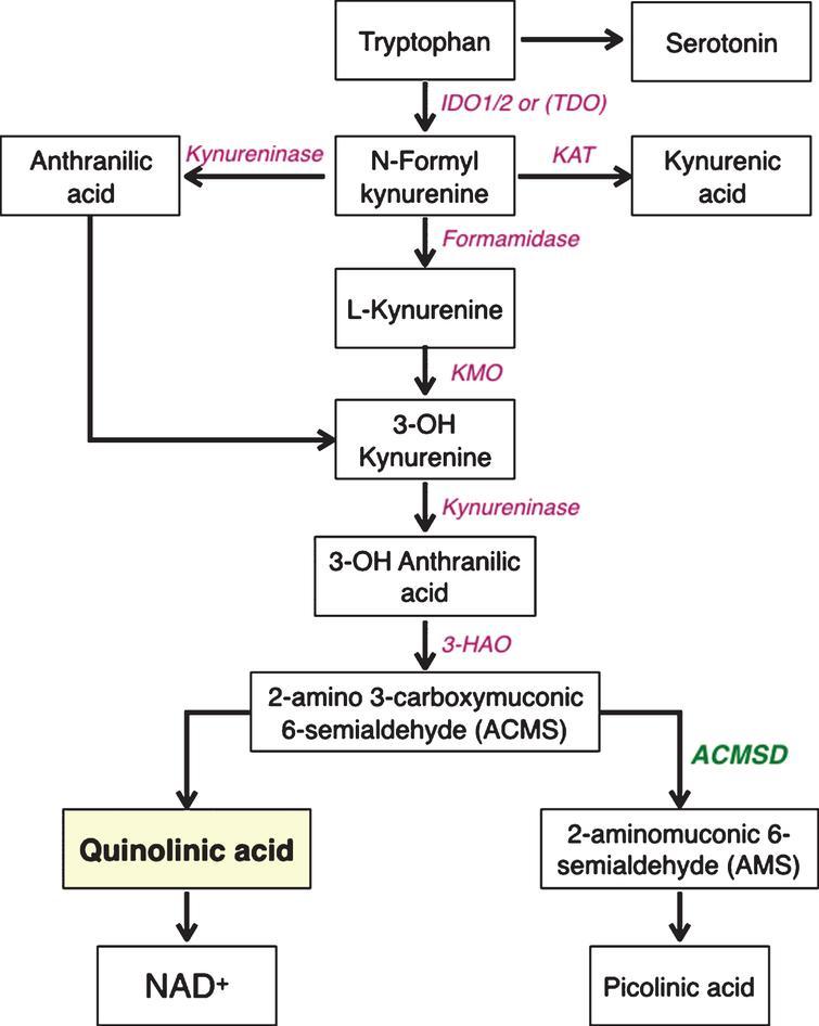 Simplified diagram of the enzymes and metabolites of the kynurenine pathway. IDO, indoleamine-2,3-dioxygenase; TDO, tryptophan-2,3-dioxygenase; KATs, kynurenine aminotransferases; KMO, kynurenine-3-monooxygenase; 3-HAO, 3-hydro-xyanthranilate-3,4-dioxygenase; ACMSD, aminocarboxymuconate-semialdehyde decarboxylase; QPRT, quinolinate phosphoribosyltransferase; NAD, nicotinamide adenine dinucleotide.