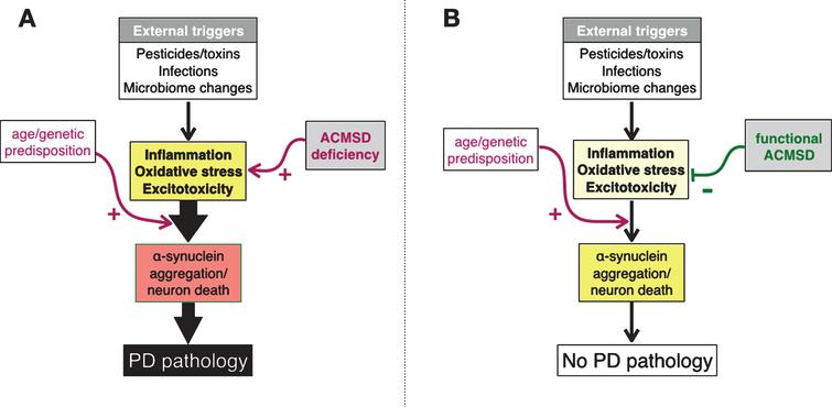 A.Schematic diagram depicting the interrelationships between putative triggers of Parkinson's disease (PD) and three pathogenetic mechanism that are believed to contribute to the development of neuropathology. We suggest that these events are enhanced by aging. In this model, we propose that ACMSD activity can reduce the likelihood that potential disease triggers actually lead to PD. B. Physiological state.