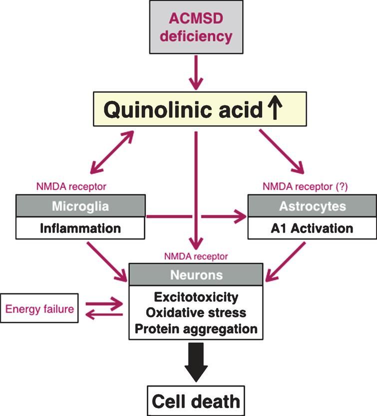 Schematic diagram describing a model for possible interactions between quinolinic acid and different cell types in the brain, when it comes to pathogenetic mechanisms that are highly relevant to Parkinson's disease. In this model, we propose that a relative lack of ACMSD increases the levels of quinolinic acid and consequently elevates the risk for excitotoxicity and neuroinflammation. Maroon arrows depict an increase activity of a molecular pathway, and the green T-bar illustrates inhibition.