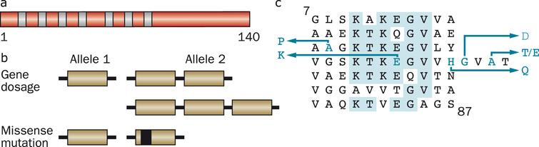 Human α-synuclein and its disease-causing mutations. (a), Diagram of the 140 amino acid human α-synuclein protein. The core regions of the seven amino-terminal repeats are shown as blue bars. (b), An increase in gene dosage (duplication or triplication) of the chromosomal region containing SNCA or missense mutations in SNCA cause dominantly inherited forms of Parkinson's disease and dementia with Lewy bodies. (c), The repeats (residues 7–87) of human α-synuclein are shown, with disease-causing missense mutations (A30P, E46K, H50Q, G51D, A53E and A53T) given as blue letters. Amino acids that are identical in at least five of the seven repeats are shaded in blue.