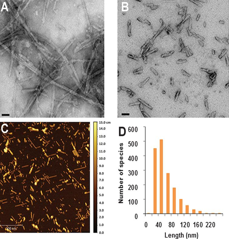 Analysis of the size and morphology of alpha-synuclein pre-formed fibrils (aSyn PFFs) after efficient sonication. A-B) Transmission electron microscopy (TEM) images of aSyn PFFs (A) pre-sonication and (B) post-sonication. A) aSyn PFFs pre-sonication are long fibrils with beta-sheet structure. Scale bars=50nm. B) aSyn PFFs that have been efficiently sonicated are short fibrils that keep the beta-sheet conformation. Scale bars=50nm. C) Atomic force microscopy (AFM) analysis of sonicated aSyn PFFs to determine size of the sonicated PFFs. D) Size distribution of the aSyn PFFs after sonication as determined by values obtained from statistical analysis of the aggregates identified in the atomic force microscopy images (C). aSyn, alpha-synuclein; PFF, pre-formed fibril.