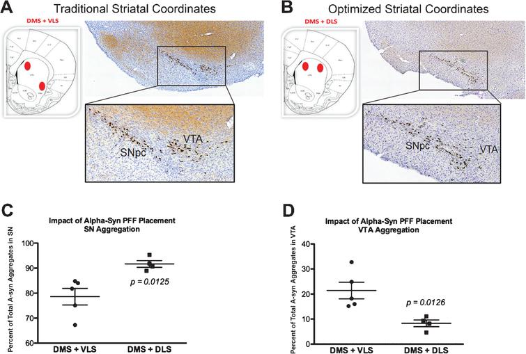 Optimized striatal injection coordinates for use in the rat alpha-synuclein pre-formed fibril (aSyn PFF) model. A–B) Comparison of pS129 aSyn expression in the ipsilateral midbrain after two site striatal injections using (A) original, traditionally-used coordinates [34] or (B) optimized coordinates guided by recent findings revealing distinct SNpc-striatal innervation patterns [54]. Neuroanatomical atlas images from Paxinos and Watson [58] depict the general coordinates used for injection. Representative low and high magnification images are shown for ipsilateral midbrain stained with cresyl violet (purple) and antibodies directed against pS129 aSyn (brown). A) Traditional injection coordinates involve injection into the dorsomedial striatum (DMS) and ventrolateral striatum (VLS). Injection into these coordinates induces robust pS129 aSyn expression in the SNpc as well as the ventral tegmental area (VTA). B) Optimized injection coordinates involve injection into the DMS as well as the dorsolateral striatum (DLS). Injection into these coordinates induces robust pS129 aSyn expression that is localized primarily to the SNpc and absent from the VTA. C–D) Quantitation of the percentage of pS129 aggregates in the (C) SNpc or (D) VTA following injection using the original (DMS+VLS) or optimized (DMS+DLS) injection coordinates. Injection using the original coordinates results in ∼80% of aggregates in the SNpc and ∼20% of aggregates in the VTA whereas injection using the optimized coordinates results in ∼90% of aggregates in the SNpc and ∼10% of aggregates in the VTA. Mean values are shown with error bars denoting standard error of the mean. aSyn, alpha-synuclein; PFF, pre-formed fibril; DMS, dorsomedial striatum; VLS, ventrolateral striatum; DLS, dorsolateral striatum; SNpc, substantia nigra pars compacta; VTA, ventral tegemental area; pS129 aSyn, alpha-synuclein phosphorylated at S129.