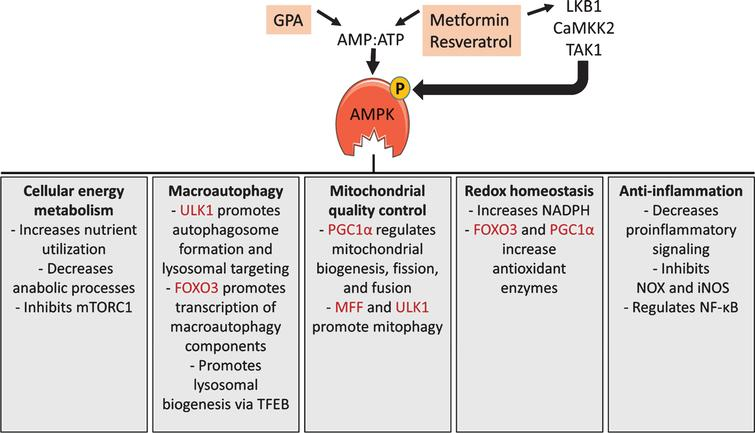 AMPK signaling. AMPK activity is regulated by the ratio of AMP to ATP and by at least 3 upstream kinases. Metformin, β-guanidinopropionic acid (GPA), and resveratrol activate AMPK by increasing the AMP:ATP ratio and/or by stimulating liver kinase B1 (LKB1) mediated phosphorylation of AMPK. AMPK has numerous functions, including changes to cellular energy metabolism, increased macroautophagy, enhanced mitochondrial quality control, redox homeostasis, and anti-inflammatory effects. A few specific functions within each area are listed, with direct phosphorylation targets of AMPK shaded. These functions are explained in more detail in the text.