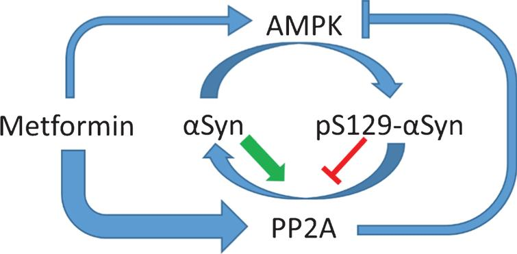 Metformin and AMPK have divergent effects on alpha-synuclein S129 phosphorylation. αSyn becomes increasingly phosphorylated at S129 in patients with PD. Multiple kinases are responsible for αSyn phosphorylation, including AMPK. pS129 may promote macroautophagic clearance of aggregated αSyn, but it may also increase the toxicity αSyn. Thus, the pathological role of pS129 in PD is complex and may change depending on disease severity. pS129 is dephosphorylated by PP2A, and unphosphorylated αSyn increases the activity of PP2A, while pS129-αSyn decreases PP2A activity. PP2A can also dephosphorylate and inhibit AMPK at pThr172. Thus, AMPK may be regulated in part by the phosphorylation state of αSyn. Metformin activates PP2A via an AMPK independent mechanism with higher potency than it activates AMPK, at least in vitro, and thereby promotes the dephosphorylation of pS129-αSyn.