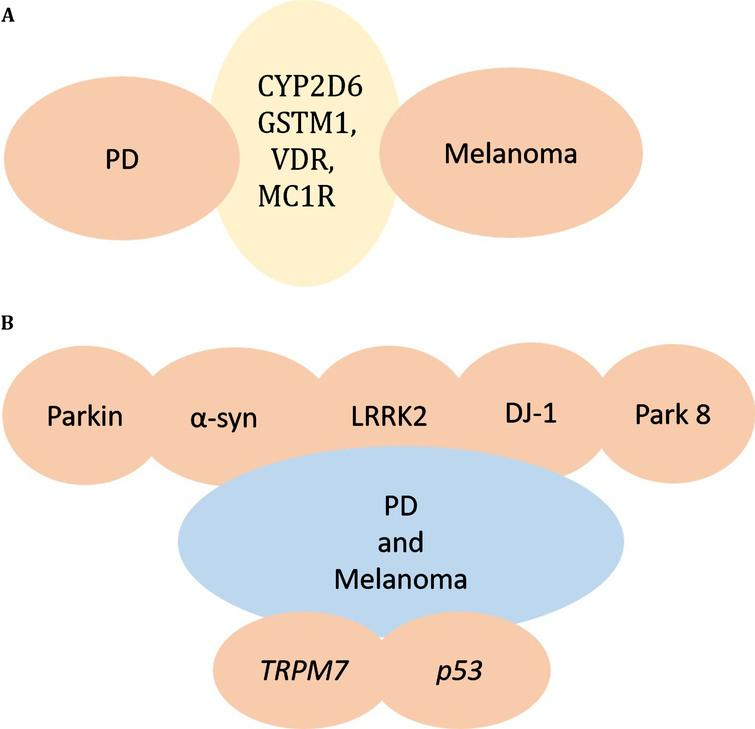 Genes responsible for melanoma and PD. A) CYP2D6 or GSTM1, VDR, MC1R gene alterations are found in both PD and Melanoma, providing a potential link between PD and Melanoma. B) Mutations in parkin, α-synuclein, LRRK2, DJ-1, and other PARK genes may underlie the co-occurrence of PD and Melanoma. TRPM7 and p53 are additional genes altered in PD and melanoma.