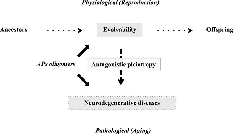 Schematics of the pathophysiology of APs in human brain. Evolvability is supposed to be a physiological phenomenon during reproduction, whereas neurodegenerative diseases are pathological phenomena during the post-reproductive senescent period. Both are derived from the aggregates of APs and participate in an antagonistic pleiotropy relationship as illustrated.