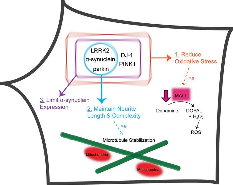 Five PD-linked genes converge on three pathways to protect against vulnerabilities of nigral DA neurons. Proteins encoded by five PD-linked genes (α-synuclein, LRRK2, parkin, PINK1 and DJ-1) limit oxidative stress stemming from dopamine metabolism and mitochondrial dysfunction (Pathway 1). α-synuclein, LRRK2 and parkin maintain the length and complexity of neuronal processes, e.g., through microtubule stabilization (Pathway 2). DJ-1, PINK1, α-synuclein, LRRK2 and parkin normally function to prevent the accumulation of α-synuclein (Pathway 3). DOPAL, 3,4-Dihydroxyphenylacetaldehyde; H2O2, hydrogen peroxide.
