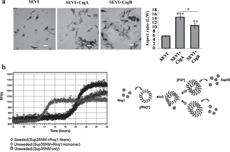 Physiological roles of the CR of APs in microorganisms. a) Bacterial curli protein promotes the conversion of PAP248–286 into the amyloid SEVI. Electron microscopic images of SEVI fibers formed in the absence of curli (left) and in the presence of 5mol% CsgA (middle) and CsgB (right) fibers. Fibers were grown at a concentration of 440μM PAP248–286 at 37°C under 1400rpm orbital shaking for 7 days. Bars=500nm. Quantification of the fibers are shown. b) Heterologous prion-forming proteins interact to cross-seed aggregation in Saccharomyces cerevisiae. Modified from Hartman et al. [30] (a) and Keefer et al. [31] (b) with permission.
