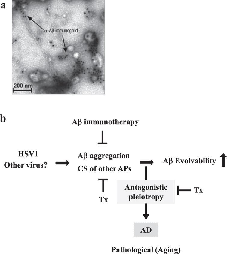Seeding of Aβ fibrils by HSV1 infection. a) Ultrstractural analysis of immunoelectron micrography shows Aβ fibrillization seeded by HSV1 in cell culture leading to virus capture and entrapment. Please see the experimental conditions in Eimer et al. (2018) [45]. Reprinted from Eimer et al. (2018) [45] with permission. b) Schematic of Aβ evolvability of and disease manifestation related to HSV1 infection. Aβ evolvability might be an epigenetic phenomenon transmitted transgenerationally to confer resistance against the HSV1 infection in offspring during reproduction, which may be beneficial in evolution. However, evolvability might lead to T2DM during parental aging through the antagonistic pleiotropy mechanism. The Aβ evolvability is increased by various causes, such as the CS of APs, may result in an efficient delivery of information of stresses associated with the HSV1 infection for offspring, but increased frequency of AD in parents aging. The CS of APs and the antagonistic pleiotropy may be targets of therapy strategy (Tx).